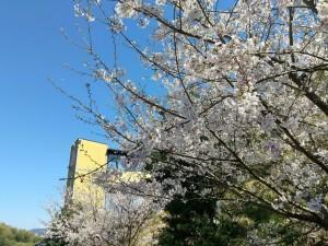 温泉桜 アップ